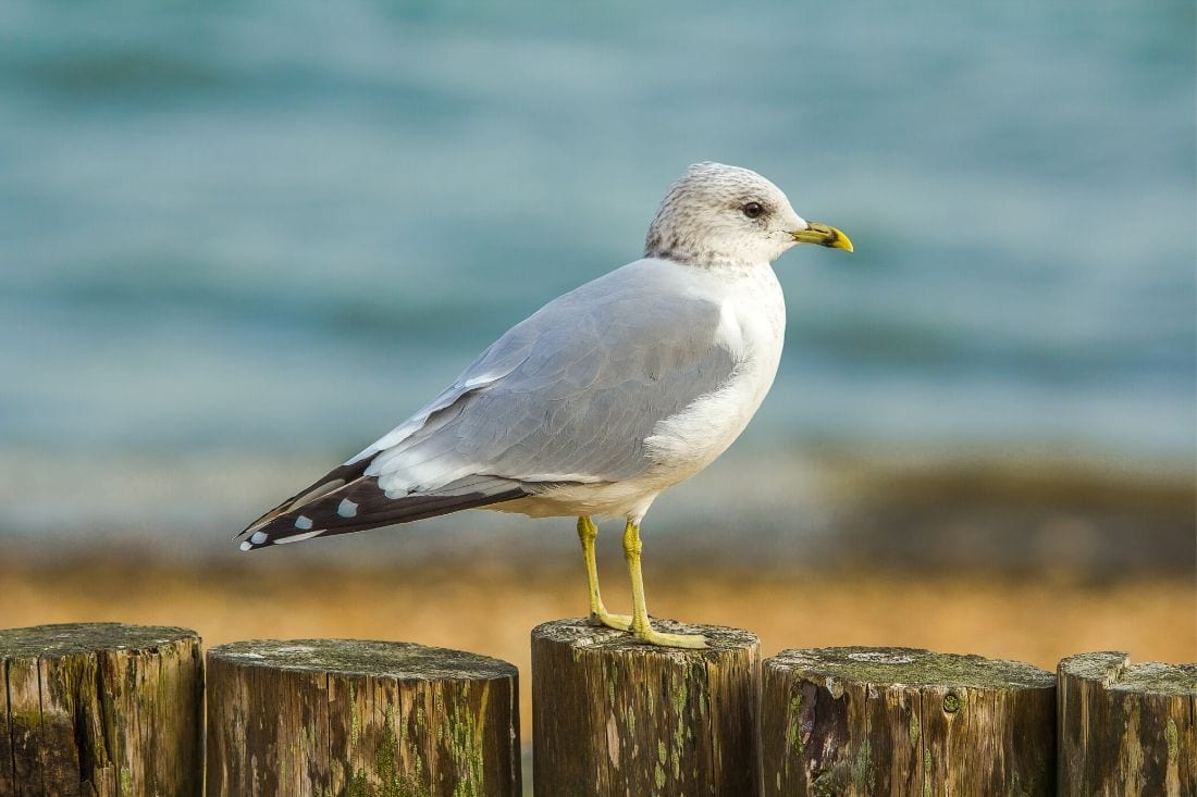 Seagull in Poole