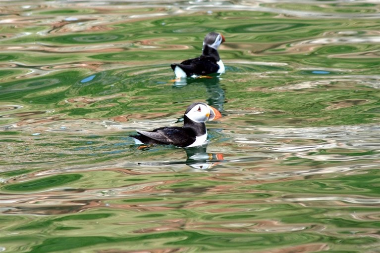 Puffins in Wales