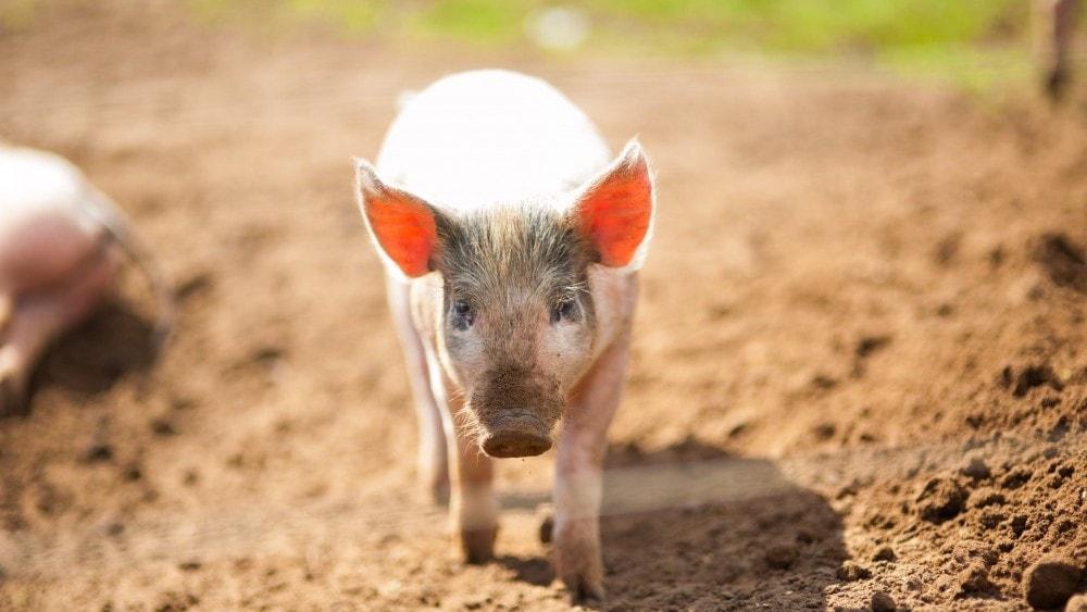 Pink Pig Farm, Scunthorpe
