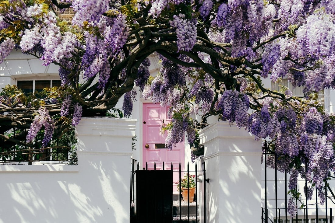 Wisteria in London in spring