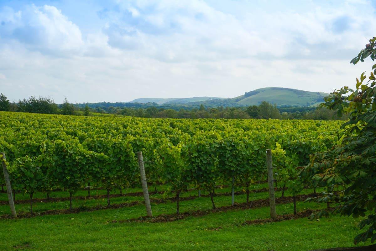 Beautiful vineyards at Albourne Estate, West Sussex