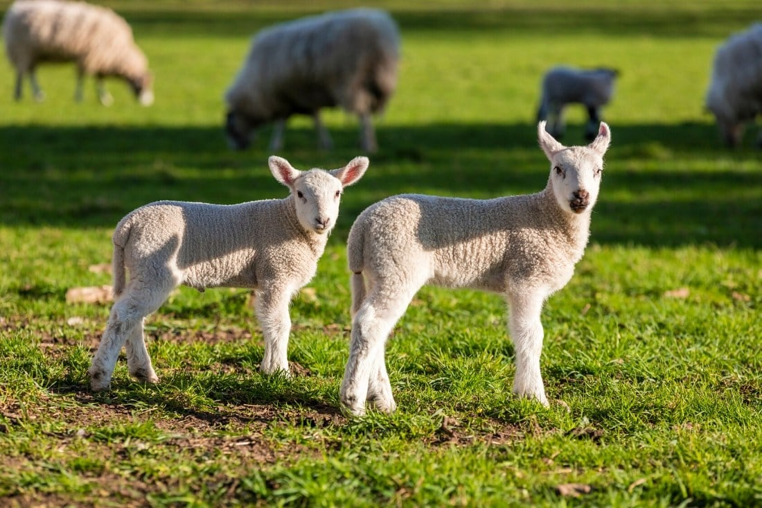 Lambs in Great Britain