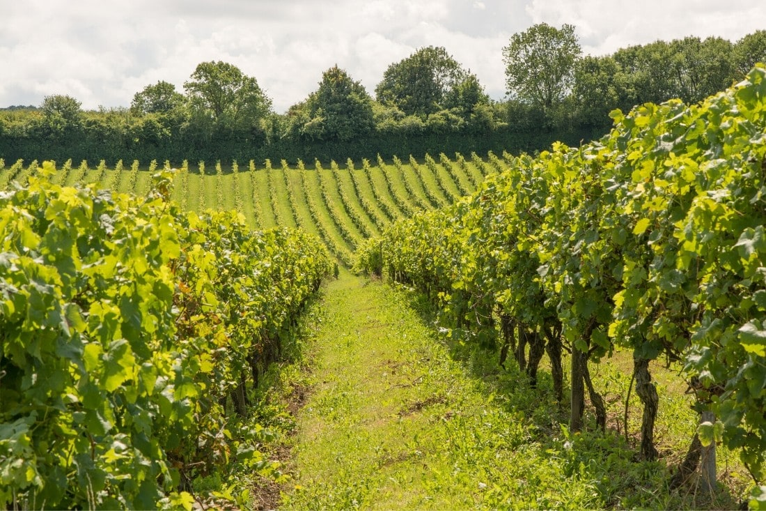 Beautiful English vineyards
