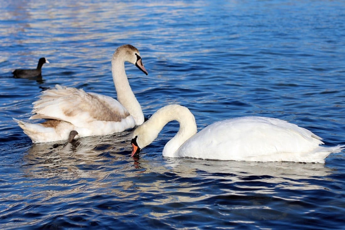Swans in Great Britain