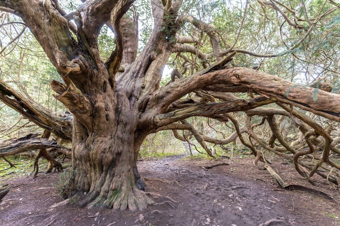kingly vale yew trees