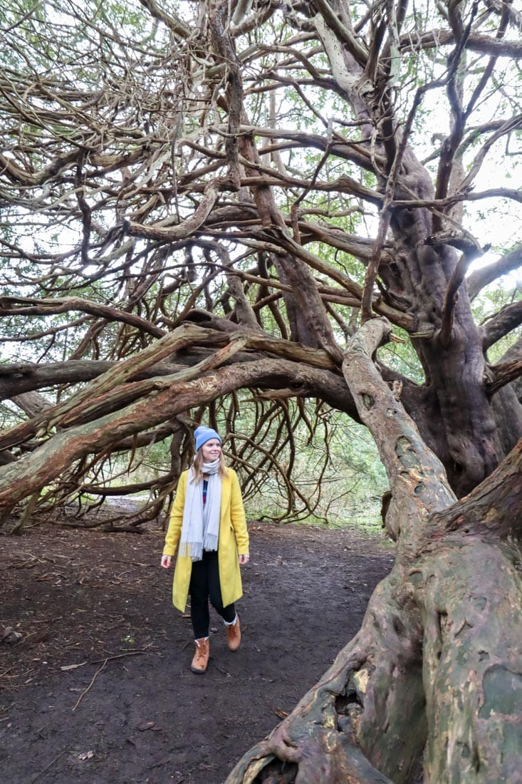 yew tree forest