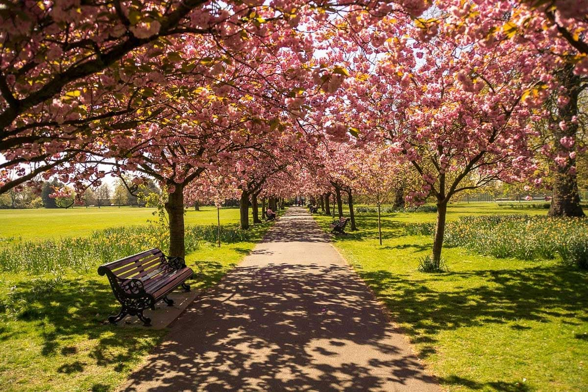 Cherry blossom in Hyde Park, London