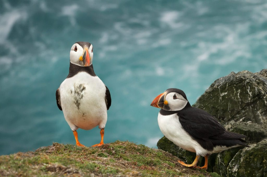 Puffins in the Orkney Isles, Scotland