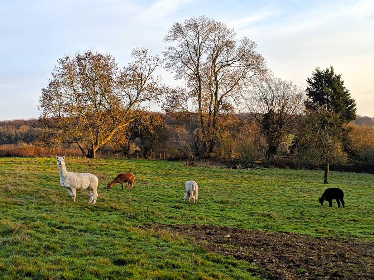 Al pacas in Buckinghamshire