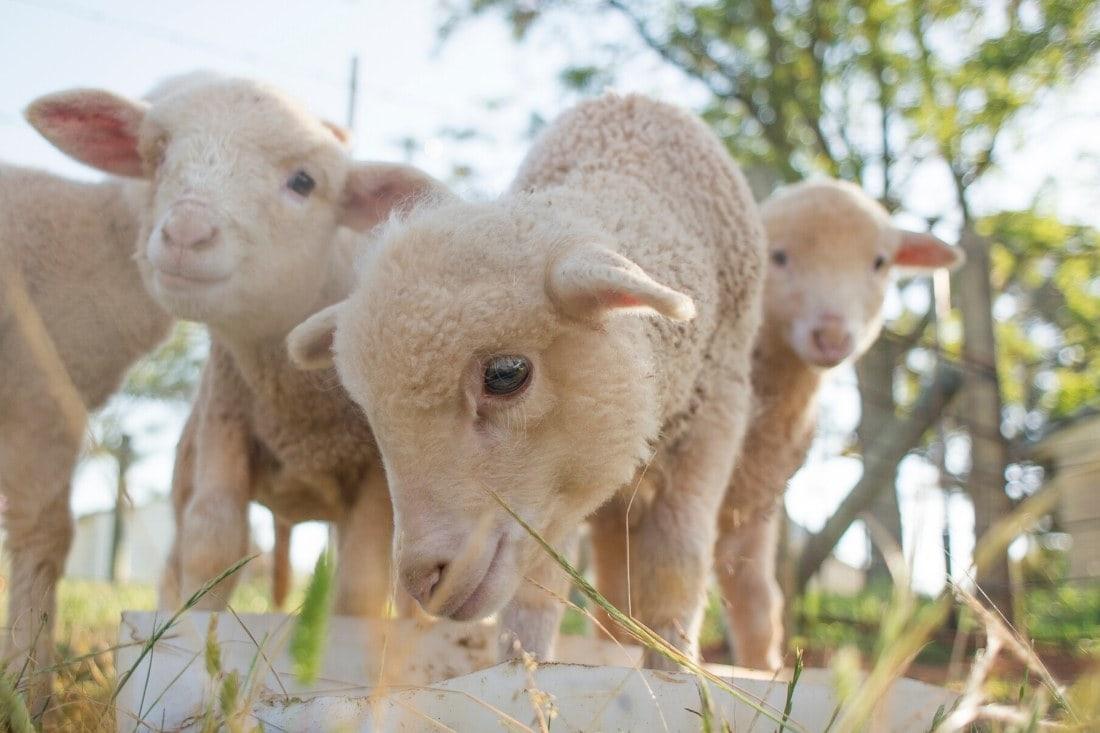 Baby lambs feeding