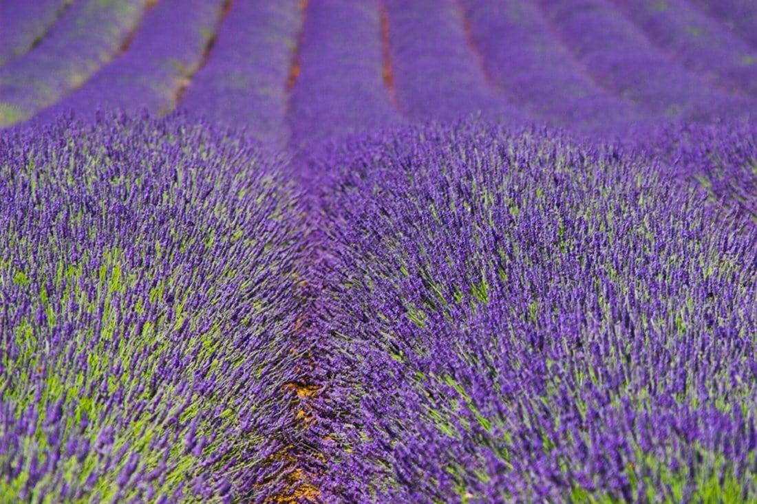 Norfolk lavender