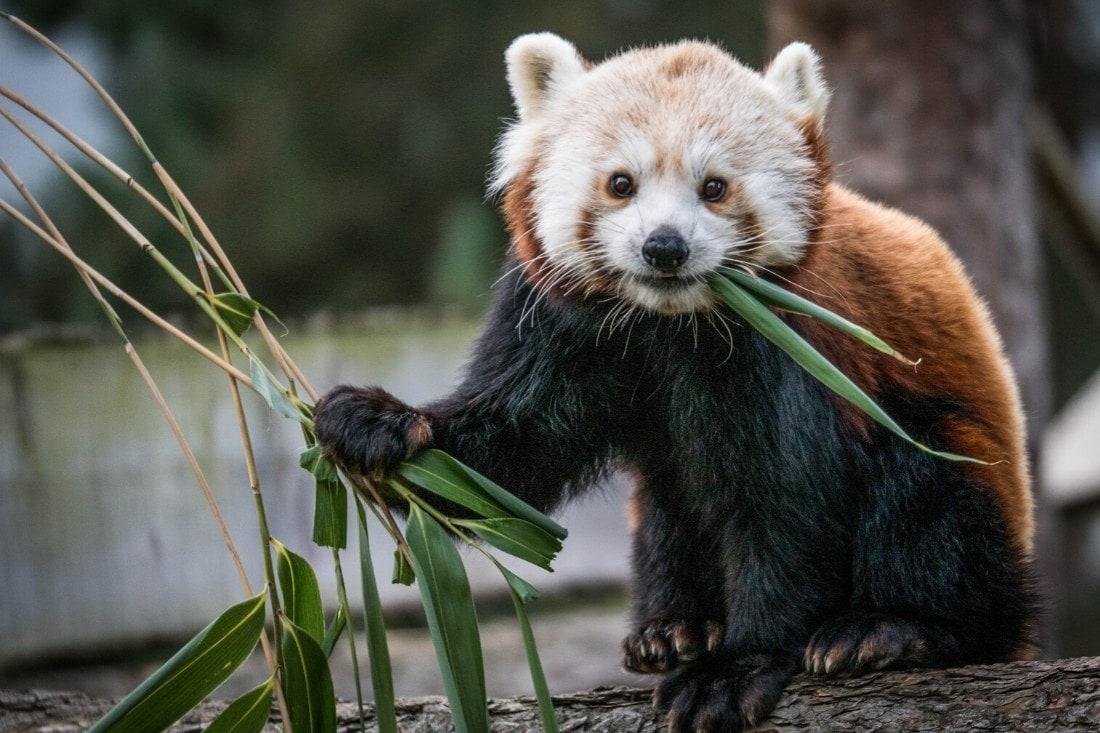 Red panda at Woburn Safari Park