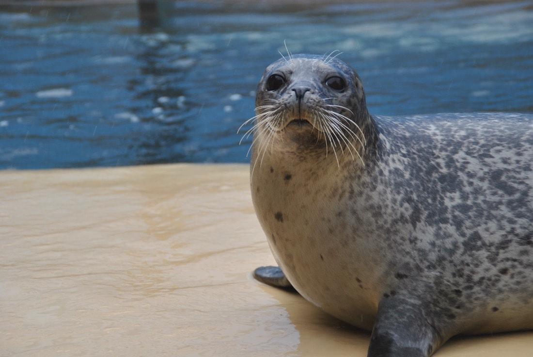 Harbour seal at the SeaQuarium in Rhyl