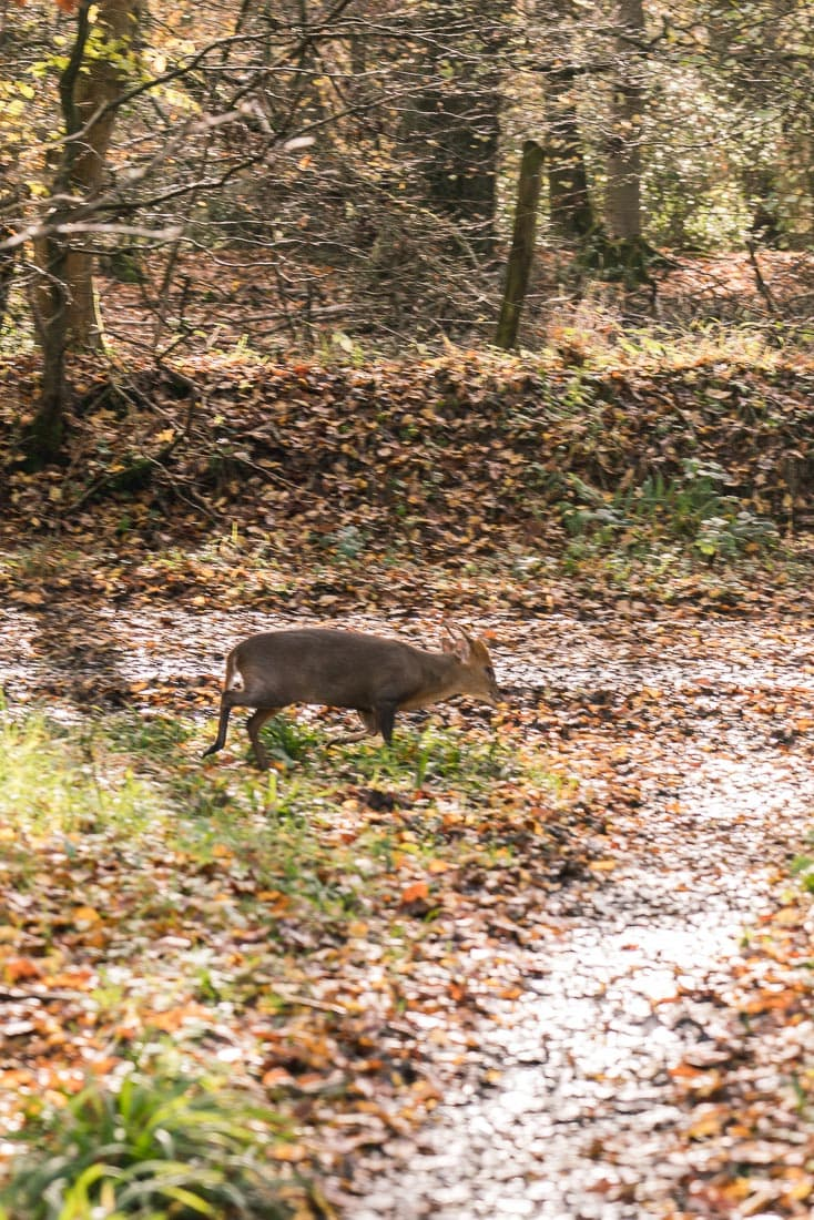 Muntjac deer spotted on the Whiteleaf walk