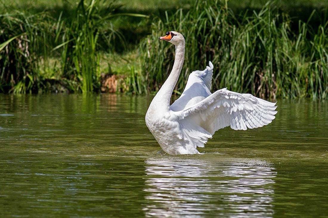 swan england
