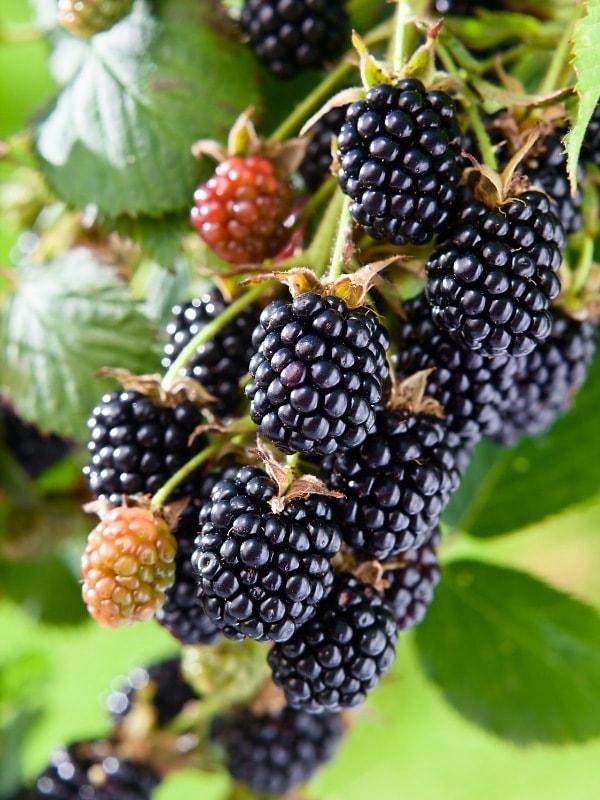 Fresh blackberries growing in the wild