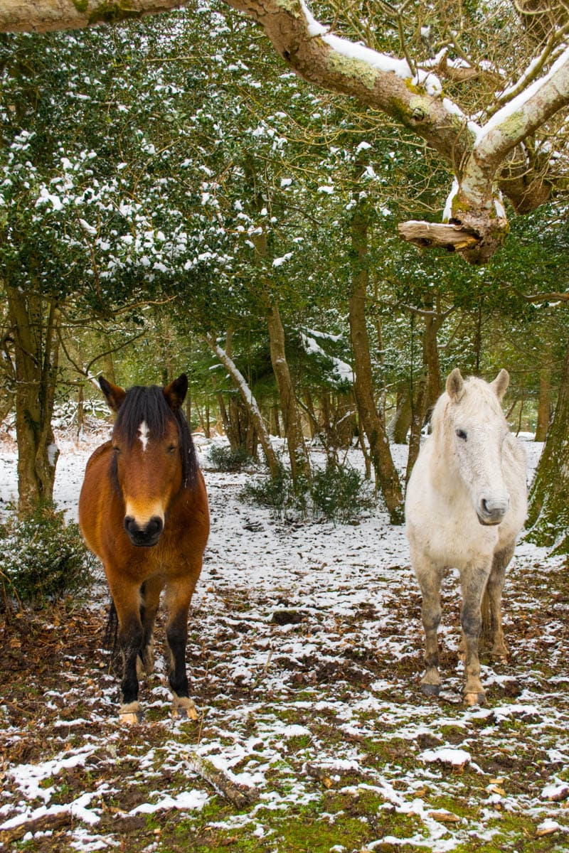 Wild ponies in the New Forest