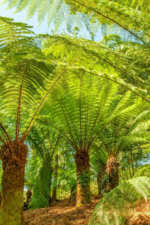 Giant ferns at the Lost Gardens of Heligan