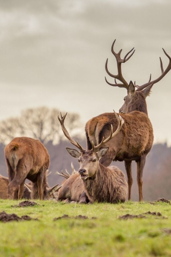 stags in windsor great park